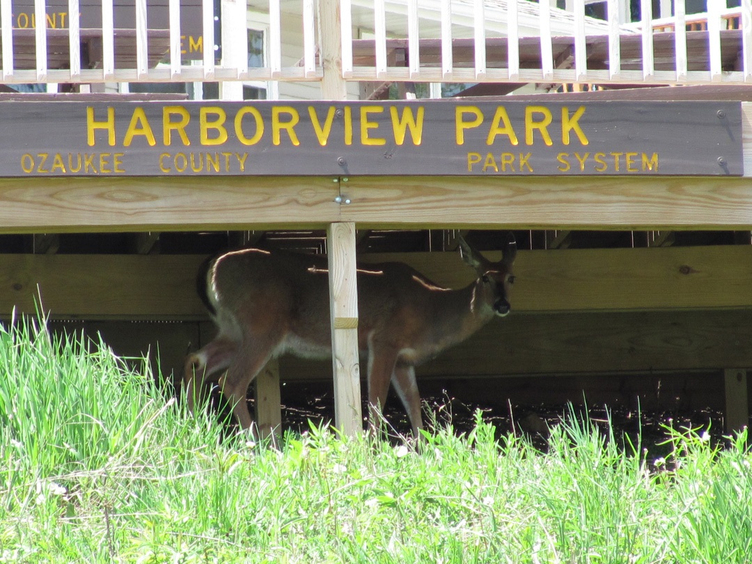 Harborview Deer 002